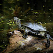 European Pond Turtle Sitting On A Trunk In A Pond Poster