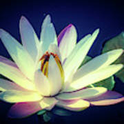 Evening Water Lily Poster