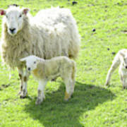 Ewe With Lambs Poster
