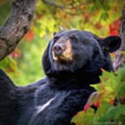 Fall Black Bear Poster