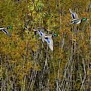 Fall Time Mallards Poster