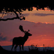Fallow Stag At Sunset Poster
