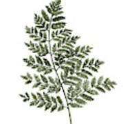 Fern Twig Illustration Grey Plant Watercolor Painting Poster