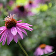 Frilly Hat Echinacea Poster