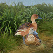 Fulvous Whistling Ducks  Poster