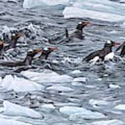 Gentoo Penguins By Alan M Hunt Poster