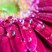 Gerbera Rain Droplets Poster