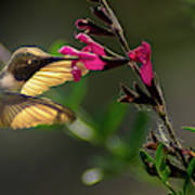 Glowing Wings Of A Hummingbird Poster