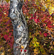Gnarled Tree Trunk - Dezadeash Lake - Yukon Territory  Poster