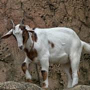 Goat Print 9245 Poster