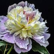 God's Perfection In A Festiva Maxima Peony Poster