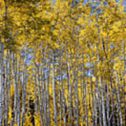 Golden Aspen Grove Poster