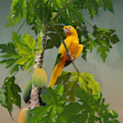 Golden Parakeet In Papaya Tree Poster