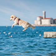 Golden Retriever Dog Jumping Into Sea Poster