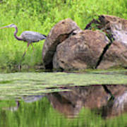 Great Blue Heron And Boulder Poster
