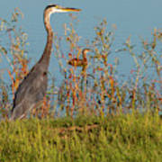 Great Blue Heron Looking For Food Poster