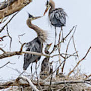 Great Blue Heron Rookery 4 Poster
