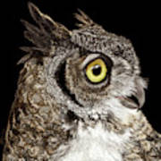 Great-horned Owl Poster