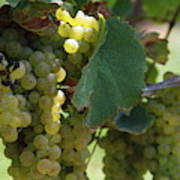 Green Grapes On The Vine 10 Poster