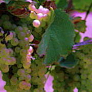 Green Grapes On The Vine 12 Poster