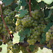Green Grapes On The Vine 18 Poster