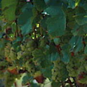 Green Grapes On The Vine 4 Poster