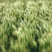 Green Growing Wheat Poster