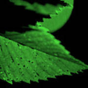 Green Leaf in Sun Poster