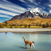 Guanaco Crossing The River In Torres Poster