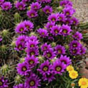 Hedgehog Cactus And Yellow Daisies Poster