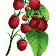 Hepstine Raspberries Hanging From A Branch Poster