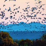 Herd Of Snow Geese In Flight, Soccoro Poster