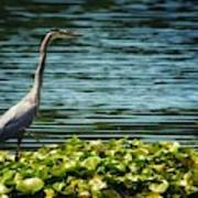 Heron In The Lily Pads Poster