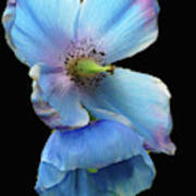 Himalayan Blue Poppy Poster