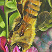 Honey Bee On Mexican Heather Poster