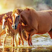 Horse Family Walking In Lake At Sunrise Poster