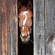 Horse Peeking Out Of The Barn Door Poster