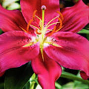 Hot Pink Day Lily Poster