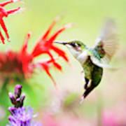 Hummingbird Fancy Poster