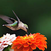 Hummingbird In Flight With Orange Zinnia Flower Poster