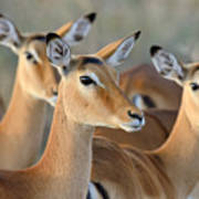 Impala On Savanna In National Park Poster