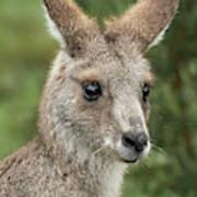 Kangaroo Up Close Poster