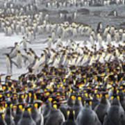 King Penguin Rookery At Salisbury Poster