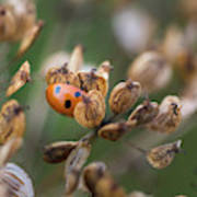 Lady Bird / Lady Bug In Flower Seed Head Poster