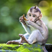 Little Baby-monkey In Monkey Forest Of Poster
