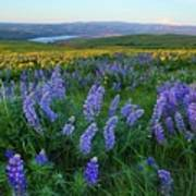 Lupines At Sunrise Poster