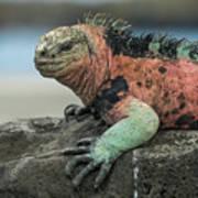 Marine Iguana Male In Breeding Color Poster