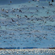 Migration Of The Snow Geese Poster