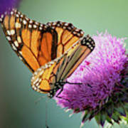 Monarch And Thistle Poster
