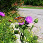 Monarch Butterfly Danaus Plexippus On A Thistle Poster